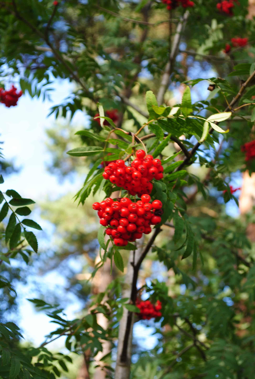 torka aroniabär i varmluftsugn