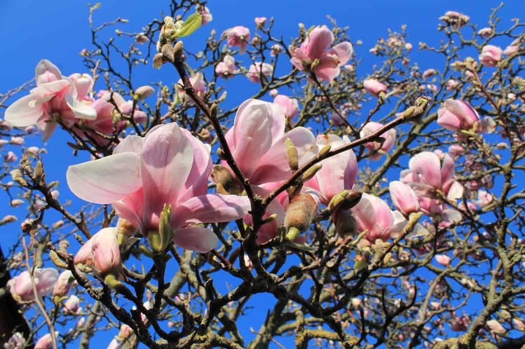 magnolia debora garden. Black Bedroom Furniture Sets. Home Design Ideas